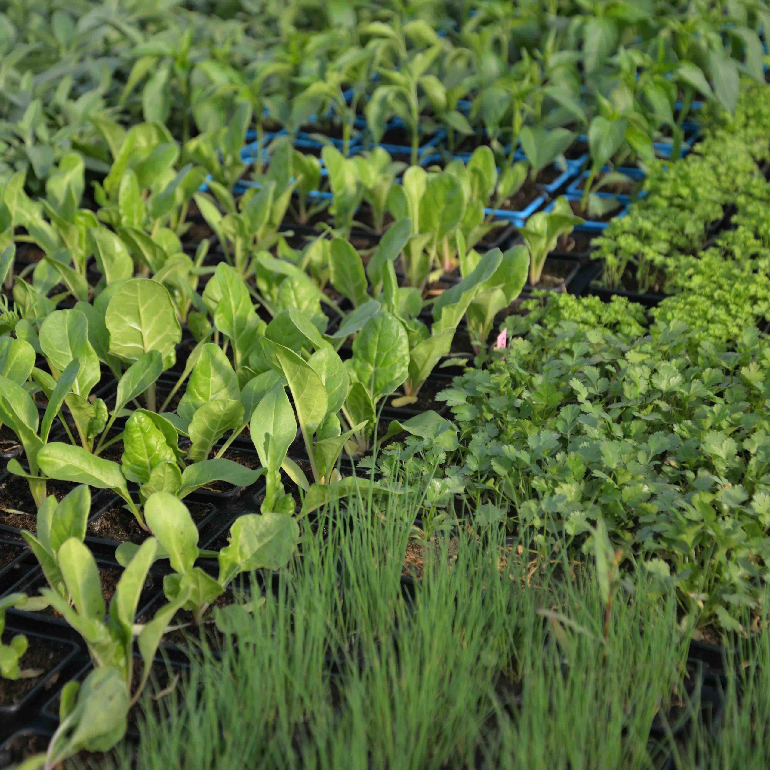 jeunes plans jardin potager aromatiques bouchet frères producteur local maraicher cruseilles