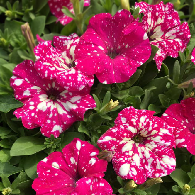 fleurs jardin plantes vivaces géraniums bouchet frères producteur local maraicher cruseilles