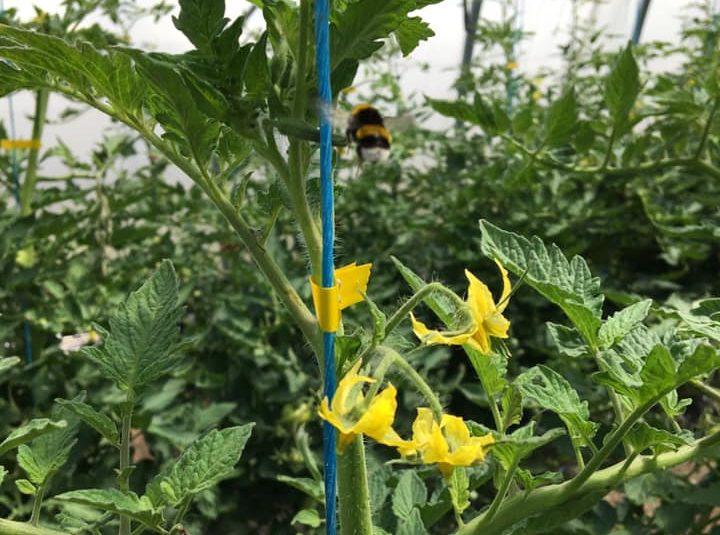 pollinisation tomates bouchet freres maraicher