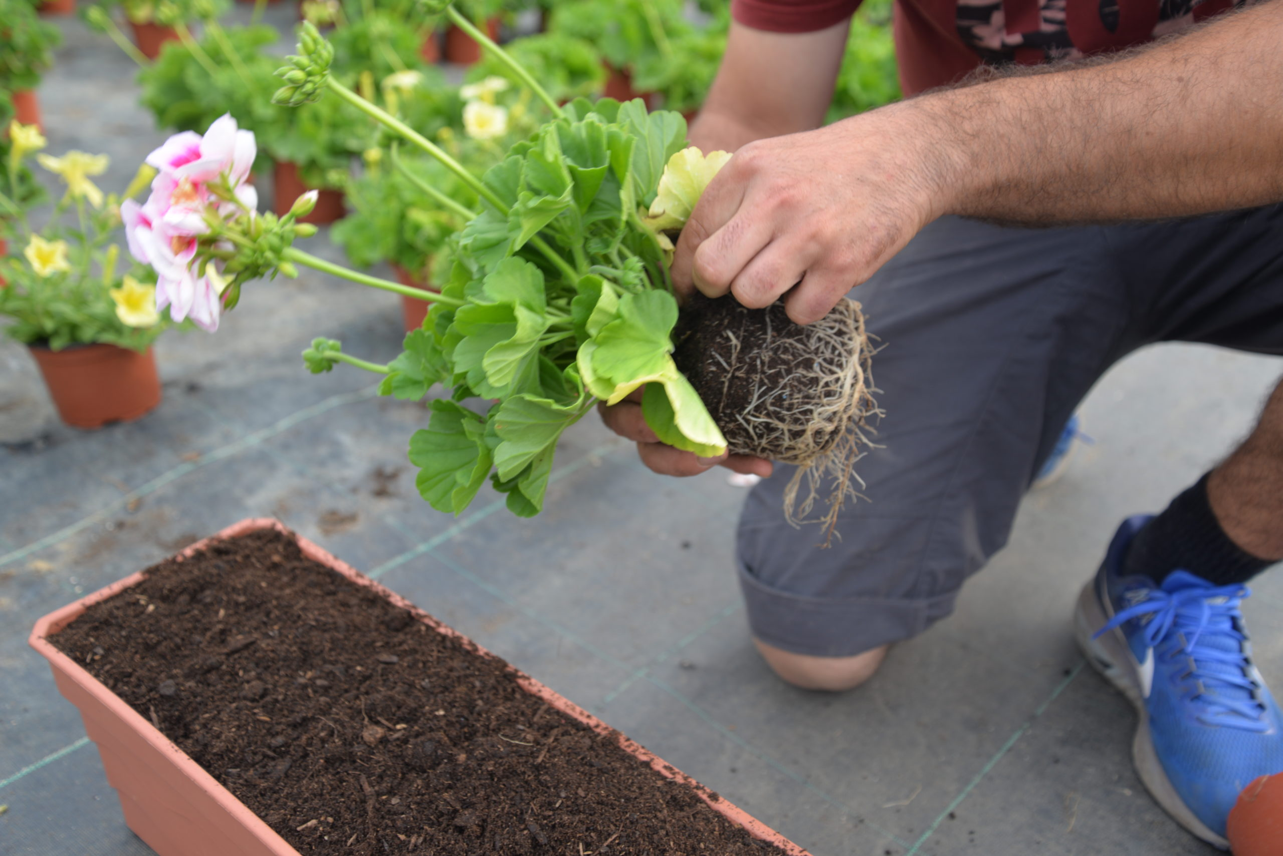 nettoyage fleurs jardinières Bouchet Freres horticulteurs