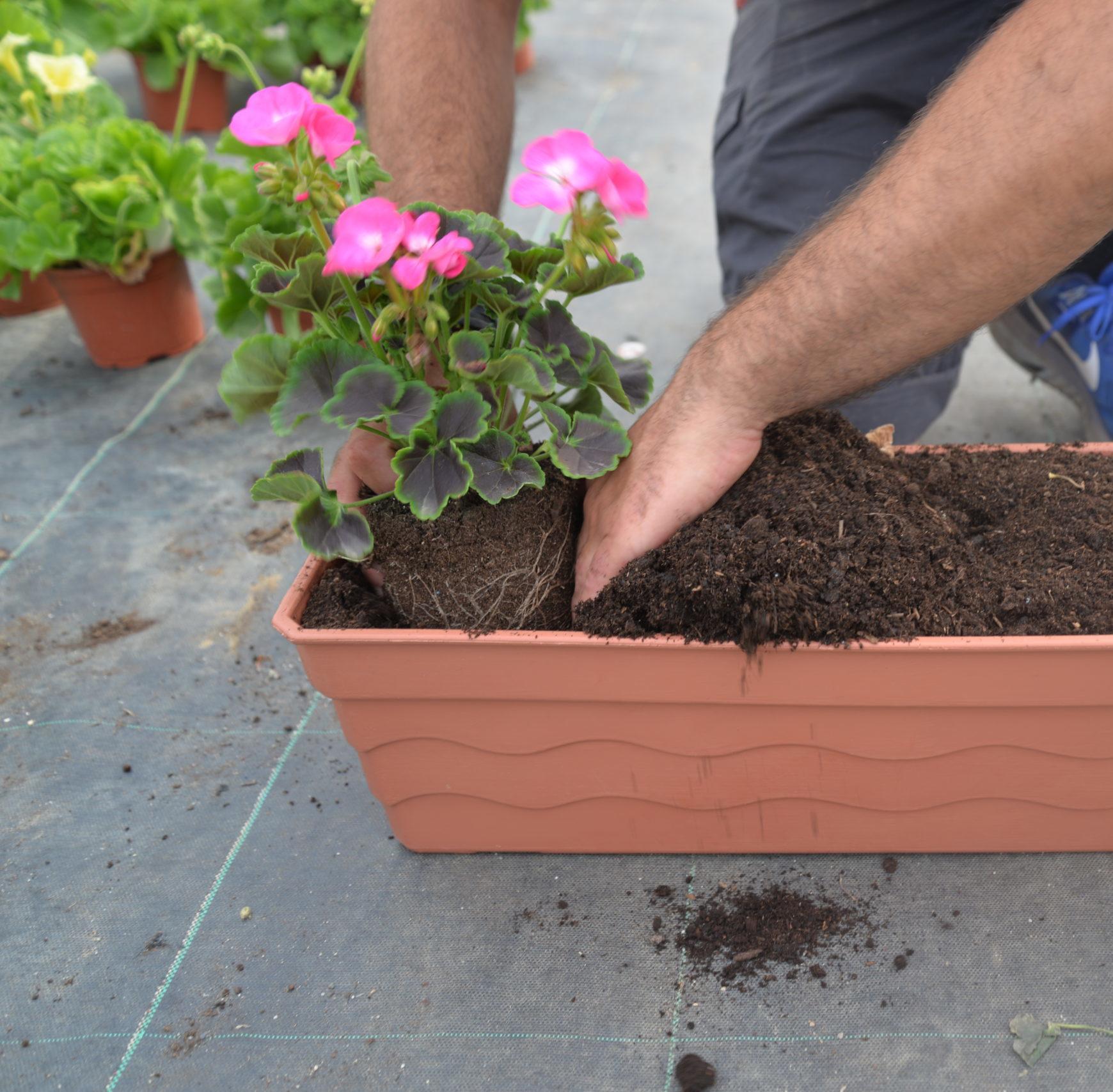 plantation, rempotage, géraniums et fleurs annuelles en jardinière, bac ou pot extérieur. Bouchet Frères, horticulteur, producteur local, Cruseilles, Haute Savoie