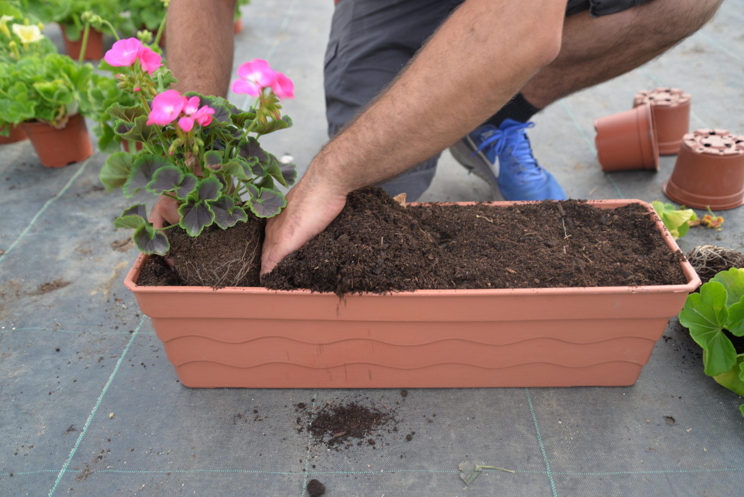 rempotage fleurs jardinières Bouchet Freres horticulteurs