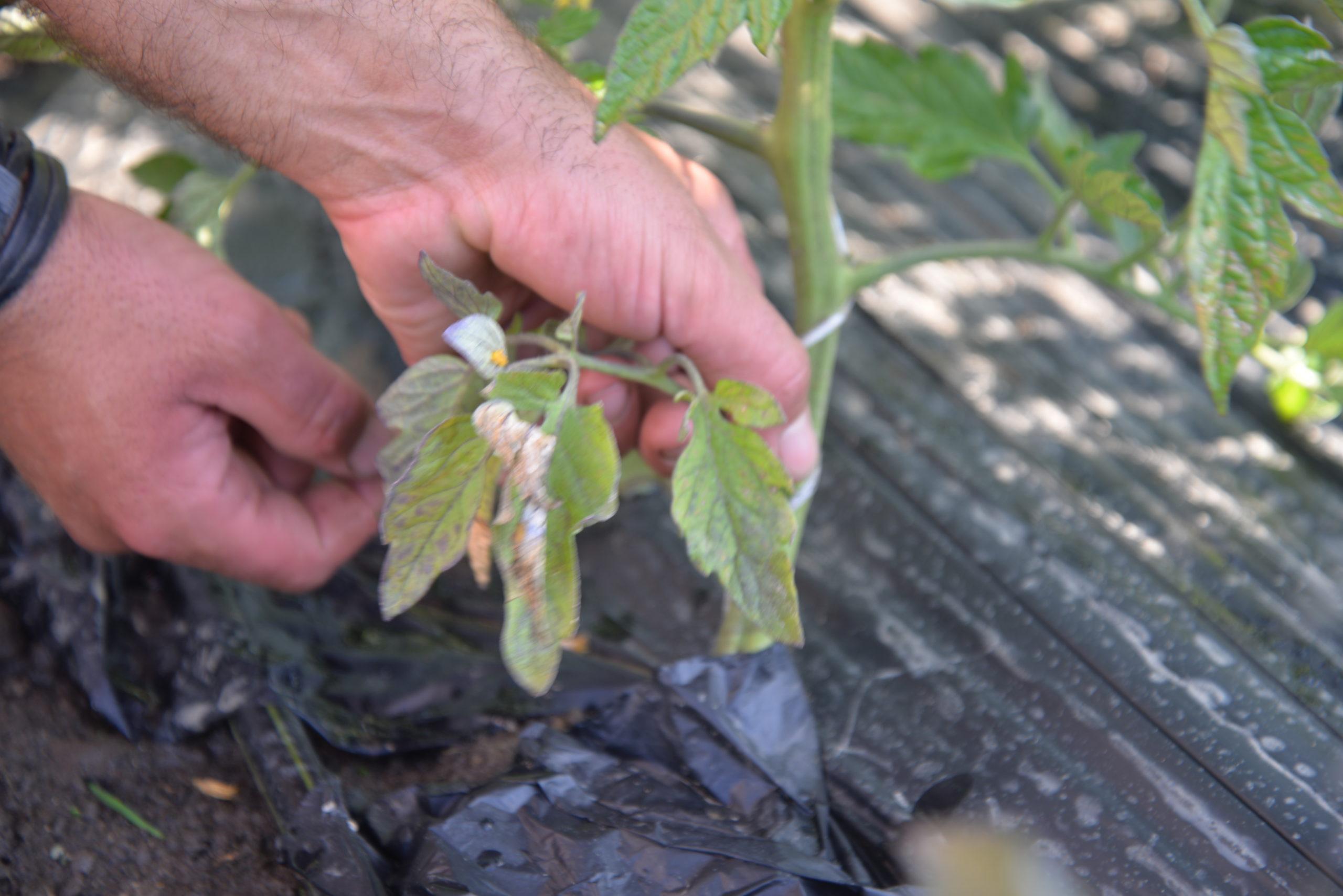 paillis tomates bouchet freres maraicher