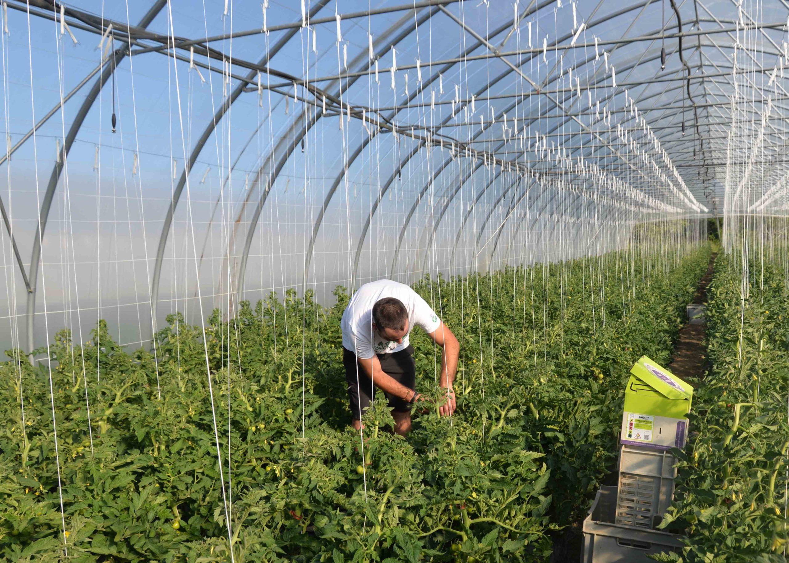 engrais tomates bouchet freres maraicher