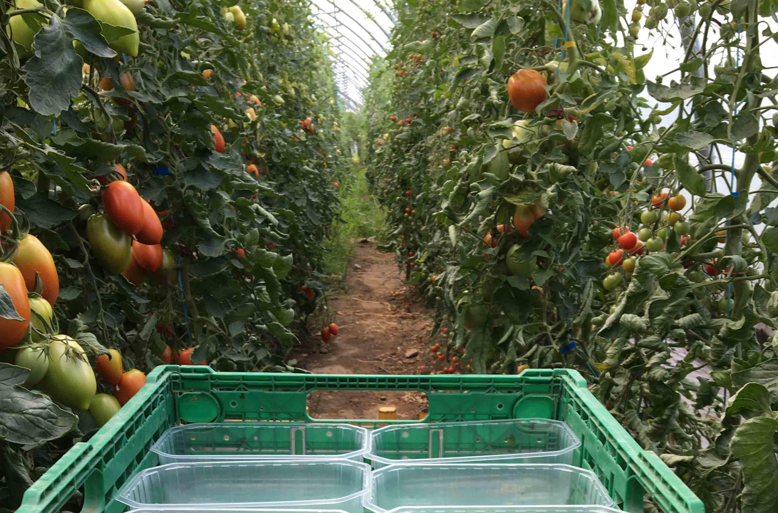récolte tomates bouchet freres maraicher