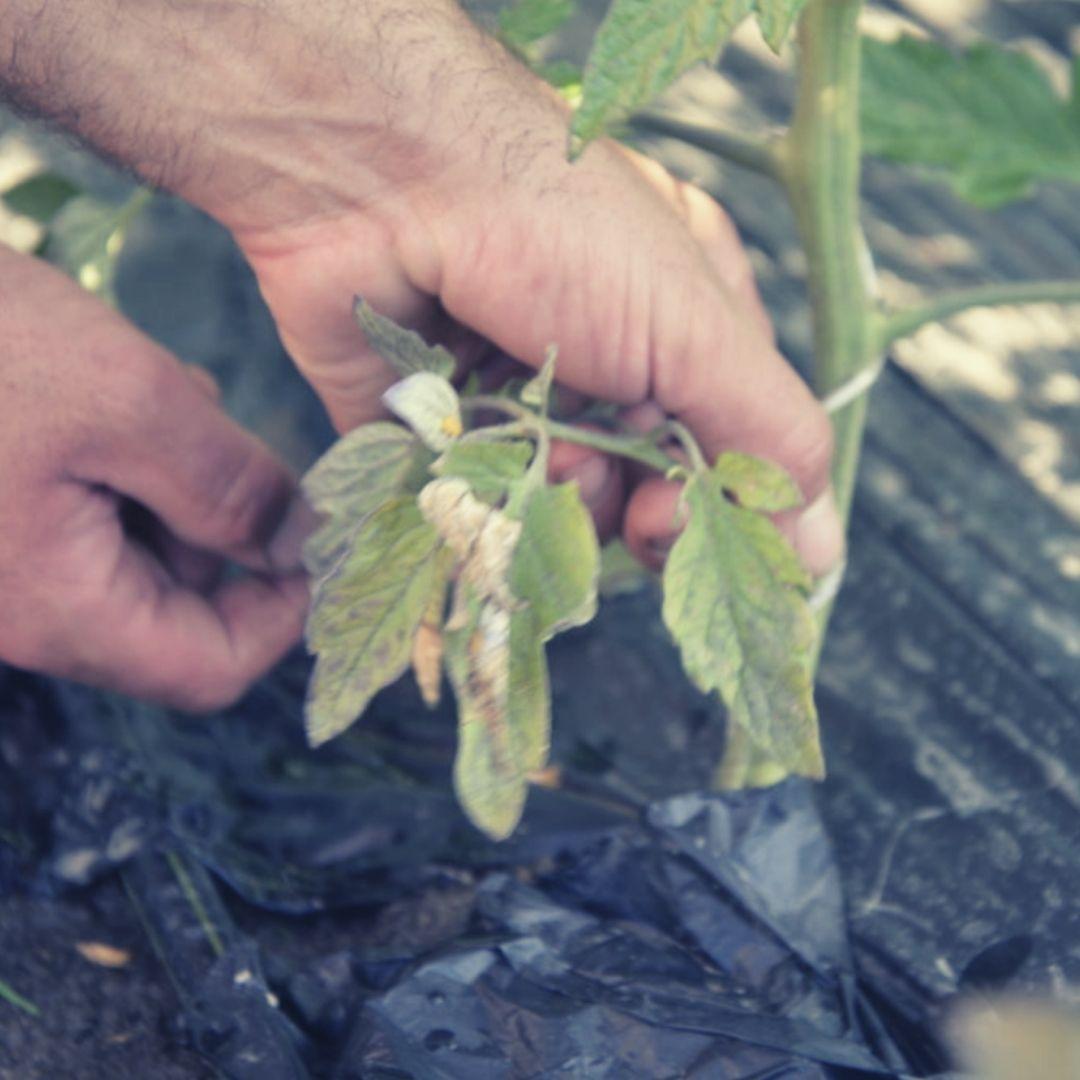 bouchet freres maraicher cruseilles, potager, jardin, traiter naturellement les plants de légumes