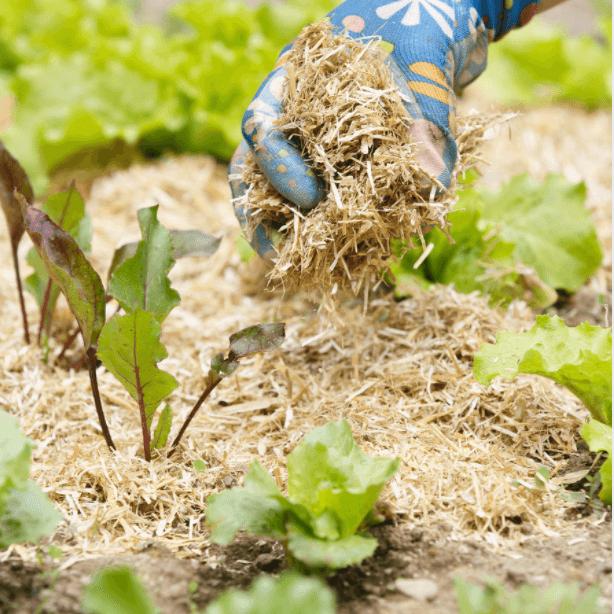 bouchet freres maraicher cruseilles, potager, jardin, pailler autour des plants de légumes