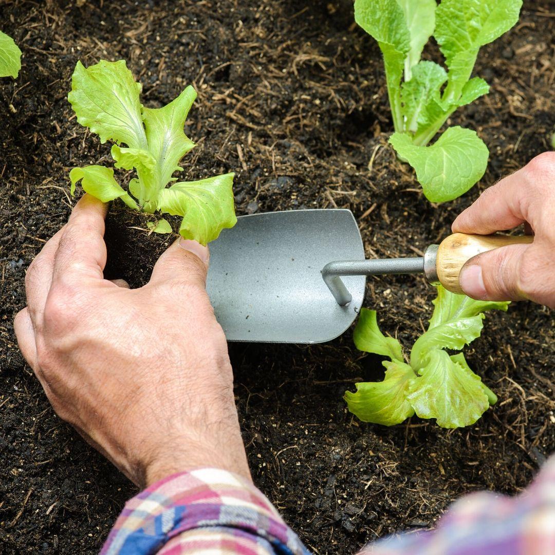 bouchet freres maraicher cruseilles, potager, jardin, espacer les plants de légumes