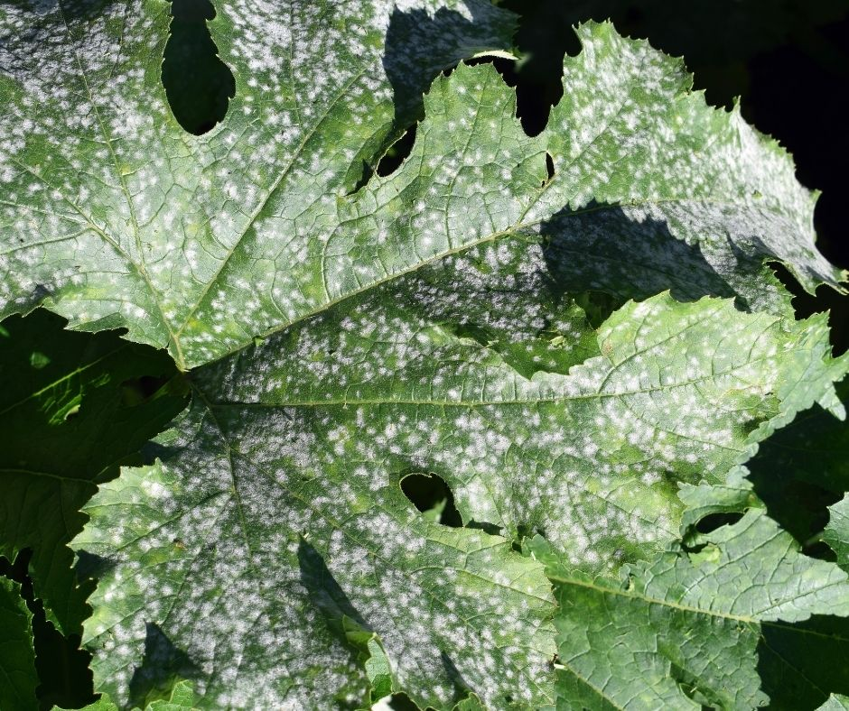 bouchet freres maraicher cruseilles, potager, jardin, oïdium maladie des légumes