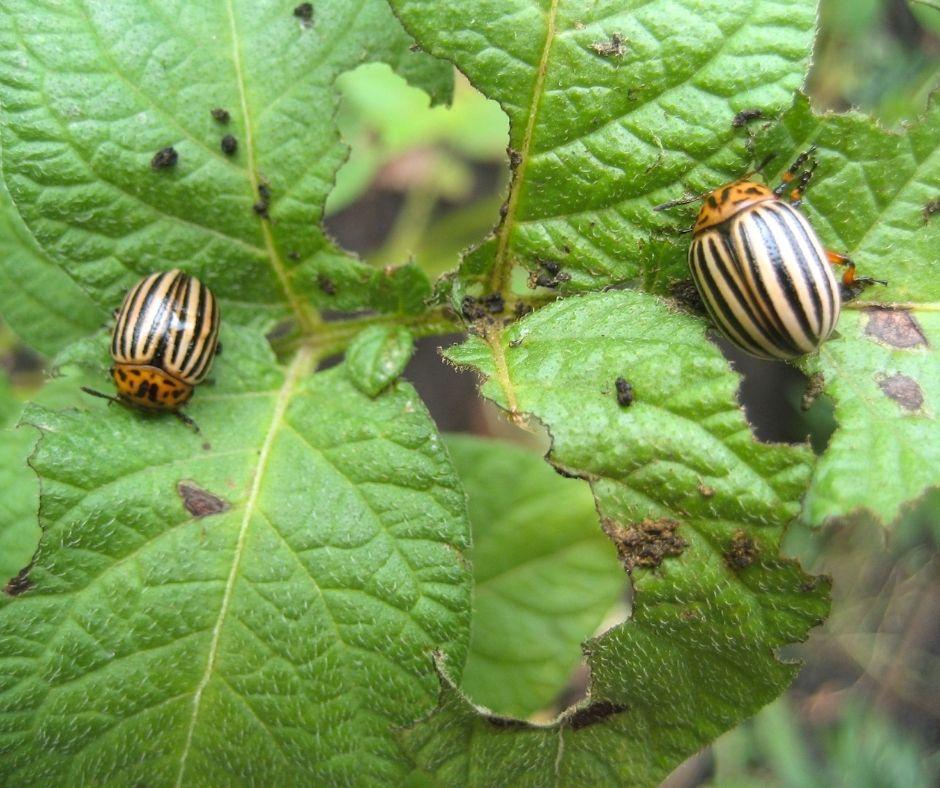 bouchet freres maraicher cruseilles, potager, jardin, doryphore ravageurs des jardins