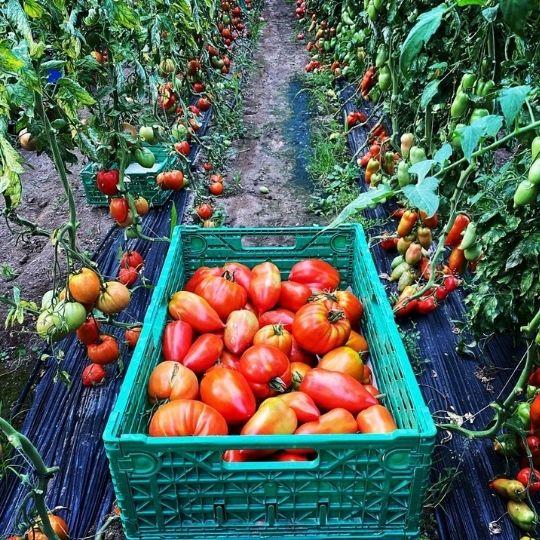 tomates rondes, tomates coeur de boeuf, tomates cerises, Bouchet Freres, producteur local, maraicher horticulteur, fruits et légumes, légumes, Cruseilles, Annecy, Haute Savoie
